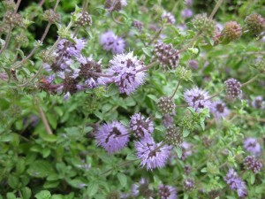 Pennyroyal is a member of the mint family that repels fleas, but is very toxic to cats.  Photo courtesy of gardenology.org via Wiki.
