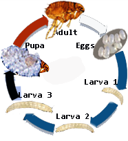 Flea Control:  The 4-Stage Flea Life Cycle:  Eggs, Larvae (3 stages), Pupa, Adult.