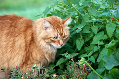 Catnip helps repel fleas - and most cats LOVE it! - Natural Flea Treatment Cats